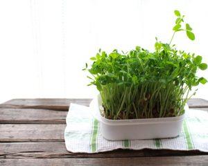 再生栽培中の豆苗