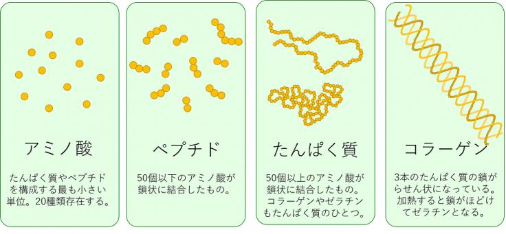 たんぱく質の模式図