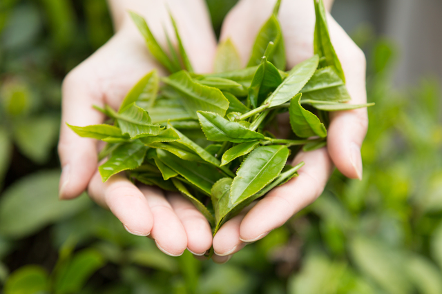 緑茶カテキンは健康やダイエットに効果あり?|管理栄養士執筆