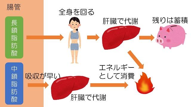 中鎖脂肪酸の代謝経路