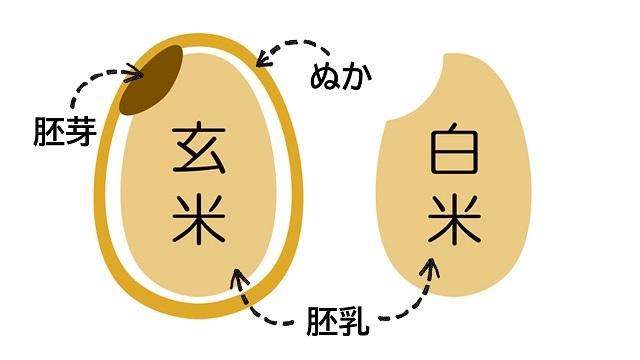 玄米と白米の違い(構造)