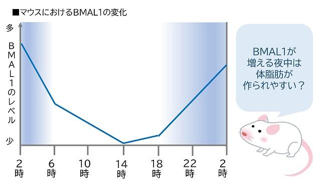 マウスにおけるBMAL1の変化
